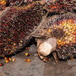 Palm Oil fruits — Lizenzfreies Foto
