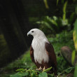 Brahminy Kite (Haliastur Indus) — Stock Photo