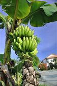 Banany na drzewie — Zdjęcie stockowe