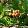 Coffee plantation - Stock Photo