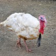 Turkey in a poultry farm. - Stock Photo