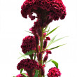 Cockscomb flower — Stock Photo