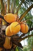 árbol de coco — Foto de Stock