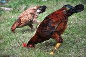 Beautiful Chicken — Stock Photo