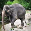 Asian Elephant - Foto de Stock