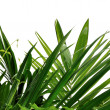 Palm leaf — Stock Photo #7953695
