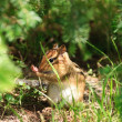 Stock Photo: Chipmunk Hides in Undergrowth