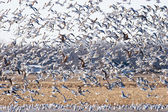 Large Flock of Seagulls — Stock Photo