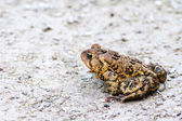 Toad Sitting on Gravel — Stock Photo
