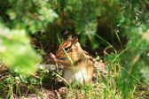 Chipmunk Hides in Undergrowth — Stock Photo
