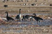 Canada Goose Migration — Stock Photo