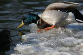 Drake Mallard Duck — Stock Photo