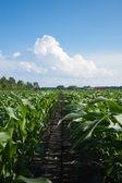 Rows of Corn — Stock Photo