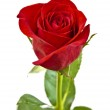 Red rose with green leaves. Isolated on white background. — Stock Photo
