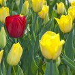 Beautiful flower red and yellow tulips in park — Foto Stock