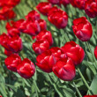 Beautiful flower red tulips in park — Stock Photo #7367287