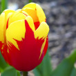 Close up beautiful single yellow and red tulip in park — Stock Photo