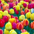 Beautiful tulips in park in spring - Stock Photo