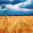Wheat ready for harvest growing in a farm field under blue sky — Stock Photo #7368095