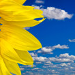 Royalty-Free Stock Photo: Sunflower against blue sky with white clouds