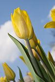 Tulipán amarillo flor hermosa en el parque — Foto de Stock