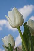 漂亮的白花郁金香公园 — 图库照片