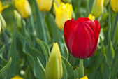 Beautiful flower red and yellow tulips in park — Stock Photo