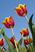 Beautiful flower yellow and red tulip in park — Stock Photo