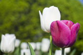 Beautiful flower violet and white tulips in park — Stock Photo