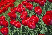 Beautiful flower red tulips in park — Stock Photo