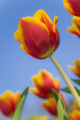 Beautiful red and yellow tulips with green leafs — Stock Photo