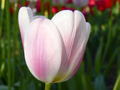 Close up beautiful single pink and white tulip in park — Стоковое фото