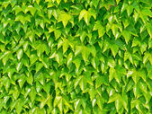 Ivyberry - green wall background — Stock Photo