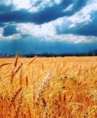 Wheat ready for harvest growing in a farm field under blue sky — Stock Photo