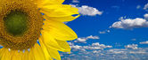 Sunflower against blue sky with white clouds — Stock Photo