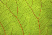 Macro shot of green leaf with red vein — Stock Photo