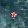 Frangipani in a Swimming Pool - Stock Photo