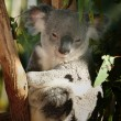 Koala at Melbourne zoo — Stock Photo