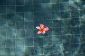 Frangipani in a Swimming Pool — Stock Photo