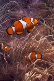 Clownfish - tropical fishes — Stock Photo