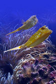 Horn fishes — Stock Photo