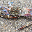 Blue crab against sand — Stock Photo