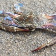Blue crab against sand — Stock Photo #7565888