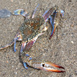 Royalty-Free Stock Photo: Blue crab against sand