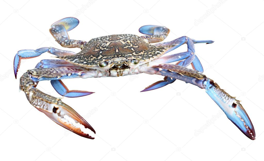 Colourful photo of huge beautiful blue crab with powerful claws isolated on white background — Stock Photo #7565883