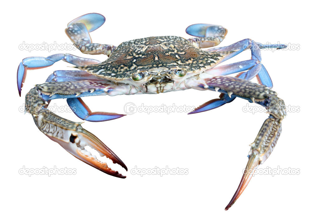 Colourful photo of huge beautiful blue crab with powerful claws isolated on white background — Stock Photo #7565885