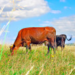 Cow resting on green grass — Foto Stock