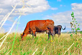 Cow resting on green grass — Stock Photo