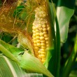 Corn growing in the field — Stock Photo