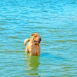 Dog in the water - Stockfoto